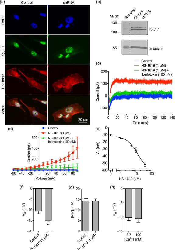 The large conductance Ca 2+ ‐activated K + channel K Ca 1.1 regulates the membrane potential but not intracellular Na + . (a) MDA‐MB‐231 cells labeled with K Ca 1.1 antibody (green), phalloidin to label the actin cytoskeleton (red), and DAPI to label the nucleus (blue). (b) Western blot of K Ca 1.1 in control MDA‐MB‐231 cells and cells in which Na v 1.5 has been knocked down with shRNA. Positive control = rat brain lysate. Loading control = α‐tubulin. (c) Representative perforated patch clamp recording showing activation of outward current using the K Ca 1.1 activator (NS‐1619; 1 µM) and inhibition with iberiotoxin (100 nM). The cell was held at −120 mV for 250 ms before depolarization to + 60 mV for 300 ms. (d) Current–voltage relationship of the K Ca 1.1 current. Cells were held at −120 mV for 250 ms before depolarization to voltages ranging from −60 to +90 mV in 10 mV steps for 300 ms ( n = 5). Data are fitted with single exponential functions. (e) Dose‐dependent effect of NS‐1619 on the steady‐state V m ( n ≥ 6). Data are fitted to a sigmoidal logistic function. (f) Effect of NS‐1619 (1 µM) on steady‐state V m ( n = 12). (g) Effect of NS‐1619 (1 µM, 5 min) on [Na + ] i ( n = 22). (h) V m recorded using intracellular solution with free [Ca 2+ ] buffered to 5.7 nM versus 100 nM ( n ≥ 10). Data are mean and SEM. ** p