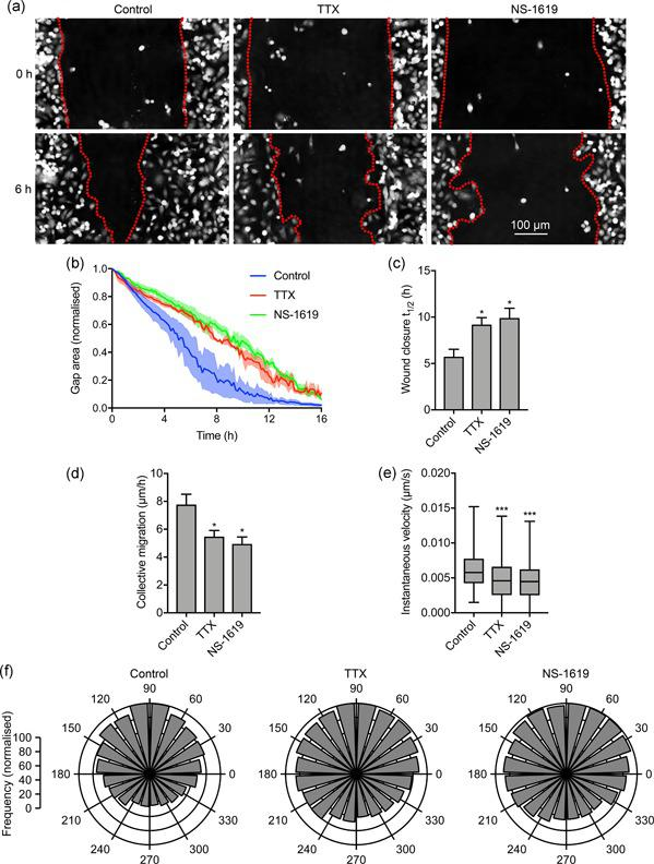 """Na v 1.5‐dependent membrane potential depolarization regulates cell migration. (a) Representative scratch wounds at 0 hr and 6 hr into a wound healing assay ± TTX (30 μM) or NS‐1619 (1 μM). Red dotted lines highlight wound edges. (b) Wound area during the migration assay (""""gap remaining""""), normalized to starting value ( n = 3). (c) t 1/2 of wound closure ( n ≥ 5). (d) Collective migration (µm/hr) of cells closing the wound ( n ≥ 5). (e) Instantaneous velocity (µm/s) of segmented cells ( n ≥ 2,662). (f) Polar histograms showing directionality of migrating cells at the leading edge of wounds ( p"""