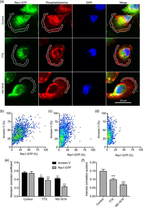 Na v 1.5 and V m regulate Rac1‐GTP colocalization with phosphatidylserine. (a) Images of representative cells after treatment with TTX (30 µM) and NS‐1619 (1 µM) for 3 hr. Cells were labeled with Rac1‐GTP antibody (green), annexin V (red), and DAPI (blue). Dashed lines highlight regions of interest at the leading edge. (b) Cytofluorogram showing colocalization of annexin V and Rac1‐GTP staining in region of interest in control cell from (a), normalized to maximum in each channel. (c) Cytofluorogram showing colocalization of annexin V and Rac1‐GTP staining in region of interest in TTX cell from (a), normalized to maximum in each channel. (d) Cytofluorogram showing colocalization of annexin V and Rac1‐GTP staining in region of interest in NS‐1619 cell from (a), normalized to maximum in each channel. (e) Manders' corrected colocalization coefficients for annexin V and Rac1‐GTP staining in regions of interest of cells after treatment with TTX (30 µM) and NS‐1619 (1 µM) for 3 hr ( n = 30). (f) Li's intensity correlation quotient for Rac1‐GTP and annexin V colocalization ( n = 30). Data are mean and SEM . ** p