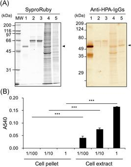 Western‐blotting for α‐amylase and starch‐degrading activity in Caco‐2 cells and culture medium. Caco‐2 cells were seeded at 5 × 10 4 cells/cm 2 in dishes (150 × 20 mm) and cultured for 6 days. The cells and culture medium before and after culture (2 mL each) were prepared as described in Section 2. A, Western‐blotting for α‐amylase: The samples were boiled with SDS‐PAGE sample buffer including 2‐mercaptoethanol, and 10 μL aliquots were used for Western blot analysis as described in Section 2. Left, Protein staining using Sypro Ruby. Right, Immunostaining for α‐amylase using rabbit anti‐HPA IgGs and HRP‐conjugated goat anti‐rabbit IgGs, MW: molecular weight maker, Lane 1, purified pig pancreatic α‐amylase (0.8 μg/lane); 2, medium before culture (1.7 μg protein/lane); 3, medium after culture (1.8 μg protein/lane); 4, cell pellet (12 μg protein/lane); 5, cell extract (2.3 μg protein/lane). B, Starch‐degrading activity: Caco‐2 cells were cultured in dishes (150 × 20 mm) for 6 days. The cell pellet and extract were separately solubilized in 500 μL of 20 mM phosphate buffer, pH 6.9. The protein concentrations of the cell pellet and extract were 0.227 and 1.16 mg/mL, respectively. The cell pellet and extract (1, 10, and 100 times dilution) were used as enzyme samples (1 vol was 15 μL) as described in Section 2. HPA, human pancreatic α‐amylase; IgG, immunoglobulin G; SDS‐PAGE, sodium dodecyl sulfate‐polyacrylamide gel electrophoresis *** P