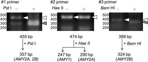 Identification of α‐amylase isozyme expressed in differentiated Caco‐2 cells. Caco‐2 cells were seeded at 5 × 10 4 cells/cm 2 and cultured in six‐well plates for 21 days. Total RNAs from cultured Caco‐2 cells were separately reacted with three sets of primers (#1, #2, #3) in RT‐PCR as described in Section 2. The RT‐PCR products were treated without (−) or with (+) Pst I, Hae II, or Bam HI. Arrowheads indicate the positions of migrated fragments that were cleaved (filled triangle) or not cleaved (open triangle), respectively. RT‐PCR, reverse transcription polymerase chain reaction