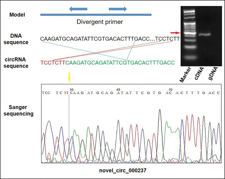 Validation of a circRNAs (novel_circ_000237) by qPCR and Sanger sequencing. M, DL500 marker and the red arrow represent 100 bp. The yellow arrows denote the divergent primers for PCR amplification orientation.