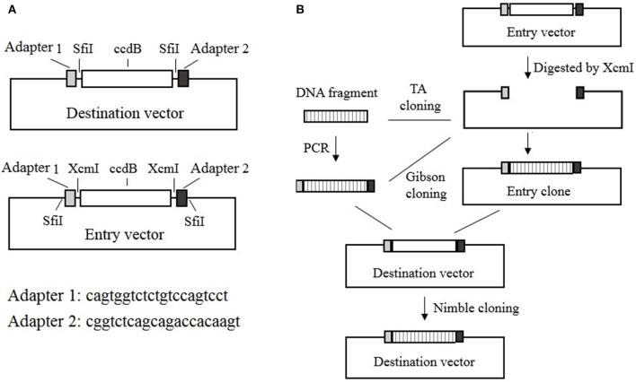 """Nimble Cloning system.  (A)  Schematic of the destination and entry vectors in the Nimble Cloning system. The destination vector contains the NC frame comprising the """"adapter 1– Sfi I– ccdB  gene– Sfi I–adapter 2"""" sequence, whereas the entry vector contains the """" Sfi I–adapter 1–XcmI– ccdB  gene–XcmI–adapter 2– Sfi I"""" sequence at the cloning site.  (B)  Schematic of the Nimble Cloning method. The PCR product flanked by the adapters or the DNA fragment in the entry clone can be cloned into the circular destination vector in a one-step Nimble Cloning reaction. The DNA fragment can be inserted into the entry vector to form the entry clone via TA cloning, or by Gibson cloning using the adapters as overlapping sequences, after the entry vector is digested with XcmI. Nimble Cloning involves  Sfi I and T5 exonuclease."""
