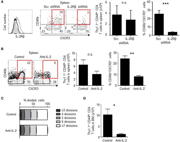 Loss of IL-2 signal inhibits the differentiation of BM memory precursors. (A) Knock-down of IL-2Rβ reduces numbers of CD49b + CXCR3 + memory precursors. C57BL/6 mice were transferred with preactivated and IL-2Rβ shRNA- or scrambled (Scr.) shRNA-transduced Thy1.1 + LCMV GP-specific CD4 T cells, immunized with LCMV-gp61 and LPS and analyzed on day 6 after immunization by flow cytometry. The histogram shows the efficiency of IL-2Rβ shRNA-mediated knock-down (filled histogram, isotype control; dashed line, Scr. shRNA; solid line, IL-2Rβ shRNA) and the dot plots show the expression of CD49b and CXCR3 in Thy1.1 + CD44 hi CD4 + B220 − NK1.1 − PI − cells. The bar charts display the numbers of total Thy1.1 + LCMV GP-specific CD4 T cells (left) and the frequency of CD49b + CXCR3 + subpopulation (right) n = 6. (B–D) Injection of anti-IL-2 reduces numbers of CD49b + CXCR3 + memory precursors. As described in Figure 1 , C57BL/6 mice were transferred, immunized and analyzed by flow cytometry on day 6 after immunization, receiving 1 mg of anti-IL-2 or isotype control on days 0, 2, and 4. The dot plots show the expression of CD49b and CXCR3 in Thy1.1 + CD44 hi CD4 T cells. The bar charts display the numbers of total Thy1.1 + CD4 T cells ( B , left) and the frequency of CD49b + CXCR3 + subpopulation ( B , right), the dilution of CFSE in each subpopulation in the spleen (C) and the BM (D) n = 4. These data are representative of two independent experiments. Data are shown as mean ± SD. * p
