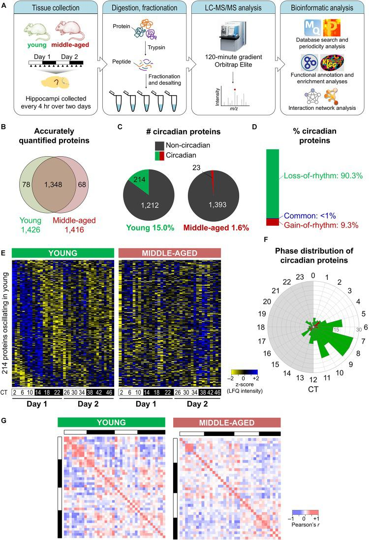 Aging disrupts the hippocampal circadian proteome. (A) Experimental design and workflow of the MS-based analysis of proteins extracted from hippocampal tissues of young (9–10 weeks old) and middle-aged (44–52 weeks old) C57BL/6J mice. Samples were collected every 4 h over 2 days, and proteins extracted from tissues of individual mice were digested with trypsin, fractionated, and analyzed by an Orbitrap Elite mass spectrometer. (B) Proteome coverage: Venn diagram displaying the number of proteins quantified in at least two biological replicates per time point in young or middle-aged mice and overlap between ages. (C) Circadian proteins detected in young or middle-aged mice using the Perseus periodicity algorithm (period = 23.6 h; q -value