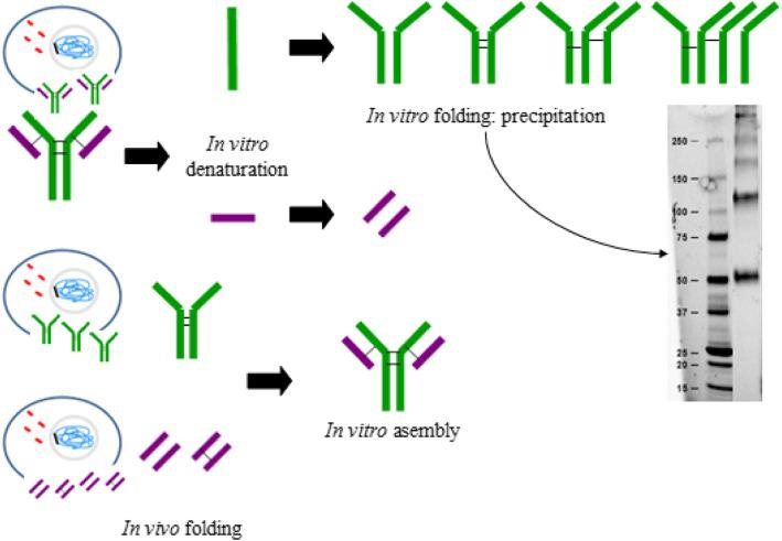 Graphical conclusions. Antibody folding is a complex process which occurs in vivo and where light chains are coupled to previously assembled heavy chain dimers. In this work, denaturation and chains separation of the Trastuzumab antibody followed by their in vitro refolding through slow dialysis method has shown that heavy chain dimers stabilized by disulphide bridges are necessary in order to reassemble the whole antibody. Successful in vitro assembly of heavy and light chains has been achieved when the chains have been independently produced