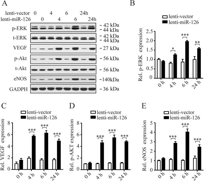 Overexpression of miR-126 activates P13K/Akt/eNOS and ERK/VEGF signaling pathways in LOCs. Western blotting shows immunochemistry signals of ERK, phosphorylated-ERK (p-ERK), VEGF, Akt, p-Akt, and eNOS in LOCs infected with lenti-vector or lenti-miR-126 ( a ). Quantification of p-ERK ( b ), VEGF ( c ), p-Akt ( d ), and eNOS ( e ) bands. GADPH expression was used for protein level normalization for VEGF and eNOS. Data are presented as mean ± SD. * P