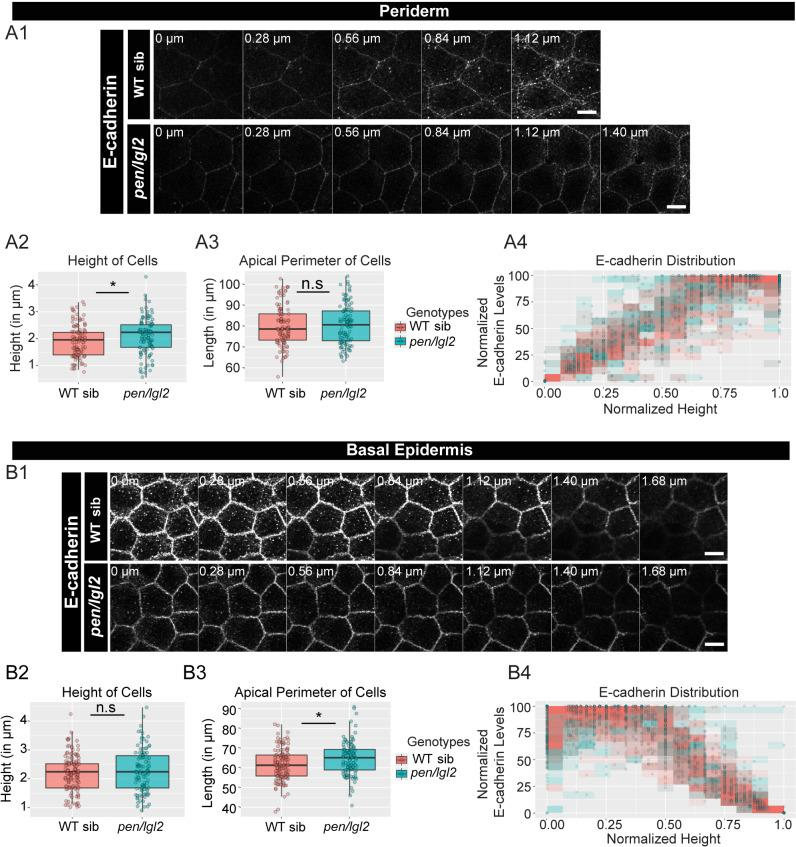 The loss of pen/lgl2 function has no effect on E-cadherin polarity. Immunolocalisation of E-cadherin at various cell heights (0 µm is apical) along the apicobasal axis in wild-type sibling (WT sib) and pen/lgl2 mutant in the periderm ( A1 ) and basal epidermis ( B1 ) at 72hpf. Comparison between WT siblings and pen/lgl2 mutants in the periderm ( A2–A4 ) and the basal epidermis ( B2–B4 ) for height of cells ( A2, B2 ) and apical perimeter ( A3, B3 ). Graphs showing polarised distribution of E-cadherin across normalised cell height in the periderm ( A4 ) and basal epidermis ( B4 ) in WT siblings and pen/lgl2 mutants. Scale bar corresponds to 10 µm in A1 and B1. AU = Arbitrary Units; WT = wild type and sib = sibling/s. Asterisk indicates significant difference (p