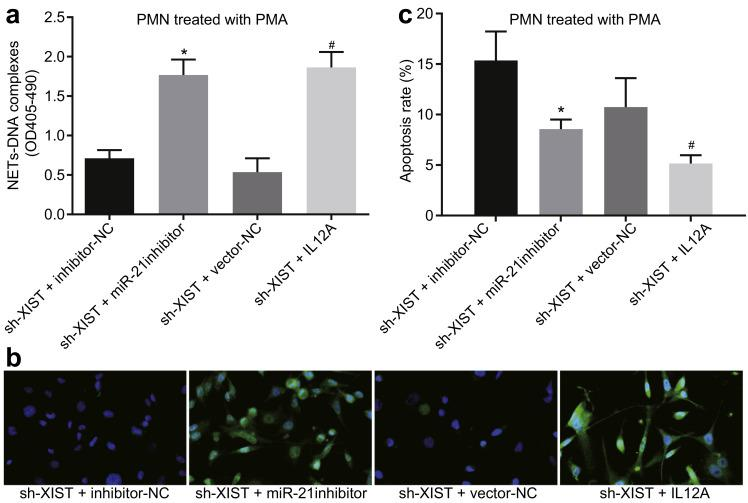 LncRNA XIST silencing decreases IL-12A expression to suppress NET formation in PMNs in vitro by elevating miR-21. a, the content of NET-DNA was elevated in PMA-treated PMNs after transfection with sh-XIST and IL-12A overexpression vector, as determined by ELISA; b, the content of free DNA in PMNs was increased after transfection with sh-XIST and IL-12A overexpression vector, as detected by immunofluorescence staining; c, the apoptosis rate of PMA-treated PMNs was promoted after transfection with sh-XIST and IL-12A overexpression vector, as determined by flow cytometry. All data were presented as mean ± standard deviation. Comparison of data among multiple groups was conducted using one-way ANOVA; the experiment was repeated three times; * p