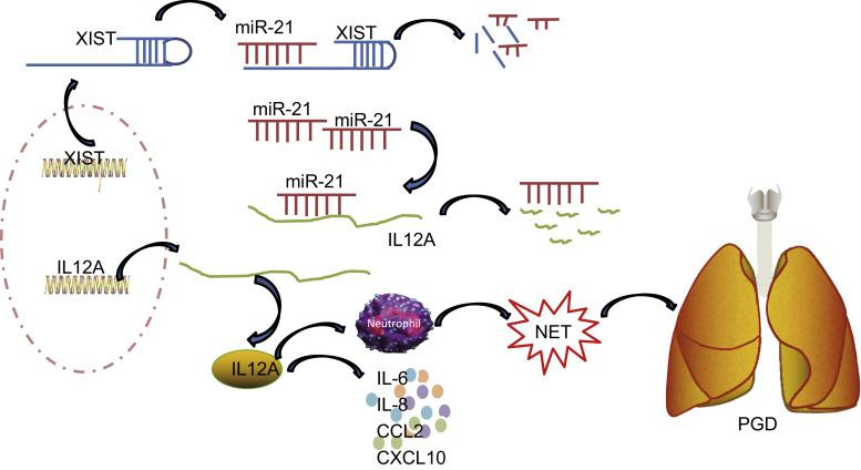 Schematic representation of the regulatory network of XIST/miR-21/IL-12A during the NET formation in PGD following lung transplantation. XIST, as a ceRNA of miR-21, upregulates the expression of IL-12A, which induces NET formation and ultimately accelerates PGD after lung transplantation.