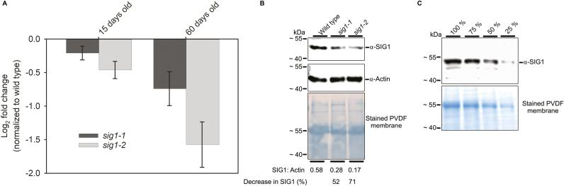 T-DNA insertional mutagenesis decreases SIG1 transcript and protein levels. (A) SIG1 transcript abundance in sig1-1 and sig1-2 mutants as quantified by qRT-PCR. The log2 fold change after normalization with the wild type is shown. Error bars represent ±SE of the mean of four biological replicates. (B) SIG1 protein level as estimated by immunoblotting. Representative SIG1 and actin blots are shown with the corresponding stained PVDF membrane. Both SIG1 and actin are detected on the same membrane. Numbers below each lane denote the ratio of SIG1 to actin band intensity. The percentage decreases in SIG1 relative to the wild-type control are also given. The full uncropped versions of SIG1 and actin immunoblots are given in Supplementary Fig. S5 . (C) An immunoblot of SIG1 with serial dilutions of the wild-type sample. The corresponding stained membrane is also shown. Molecular weight markers are indicated on the left. The mature SIG1 protein has a predicted mol. wt of 54 kDa. The SIG1 protein, however, runs on an 11.5% (w/v) SDS–6 M urea–PAGE gel with an apparent mol. wt of ~49 kDa.