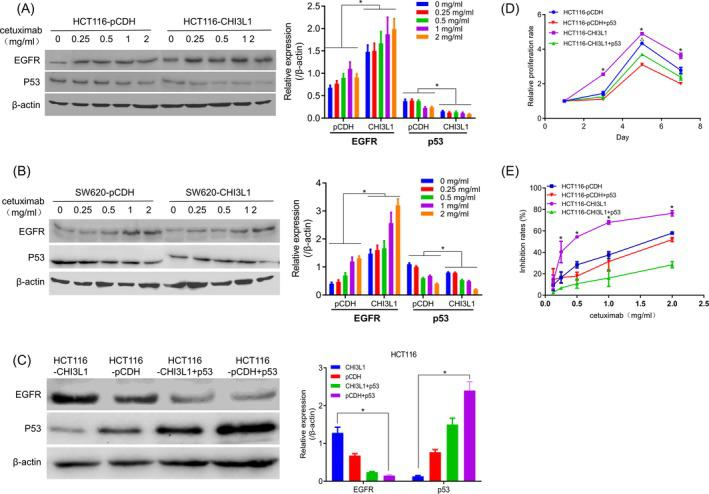 Mechanism of Chitinase 3‐like protein 1 (CHI3L1) overexpression affecting cell sensitivity to cetuximab. A, The expression of EGFR and p53 in HCT116‐pCDH and HCT116‐CHI3L1 cells after treatment with cetuximab. B, The expression of EGFR and p53 in SW620‐pCDH and SW620‐CHI3L1 cells after treatment with cetuximab. C, The expression level of EGFR and p53 after transfection of p53 overexpression plasmid in HCT116‐CHI3L1 cells. D, p53 overexpression inhibited cell proliferation. E, Overexpression of p53 decreased the sensitivity of HCT116‐pCDH cell to cetuximab. *, P