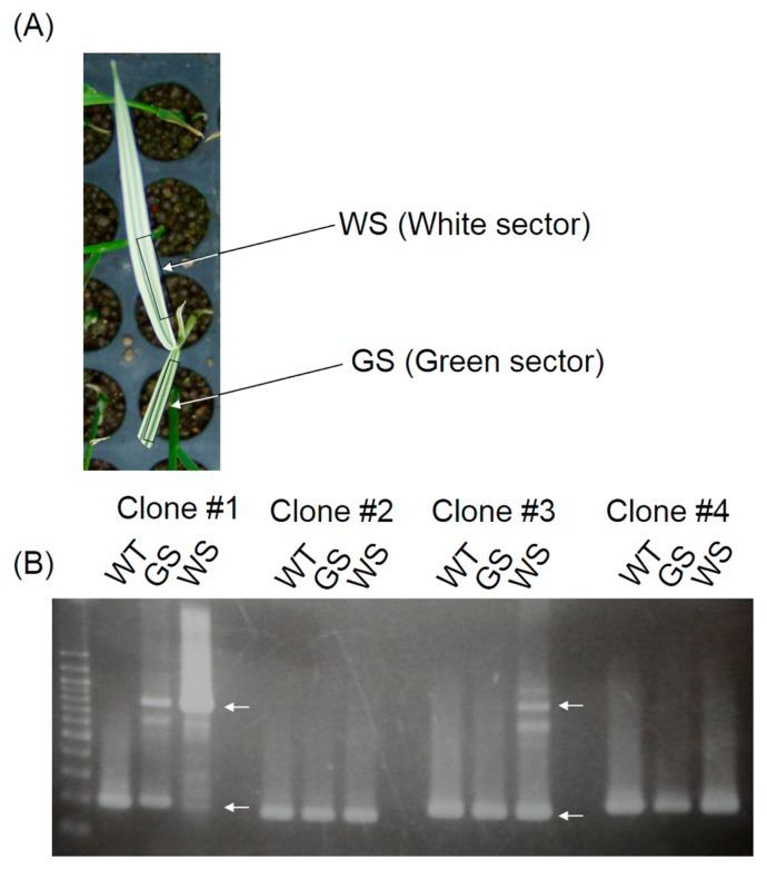 Confirmation of nDart1-0 insertion revealed by TAIL-PCR. (A) GS (Green sector) and WS (White sector) in albino of Fig. 2B . (B) Banding pattern of WT, GS and WS using specific primers for each clone. White arrow and arrowhead indicate amplicons with nDart1 insertion and without nDart1 , respectively.