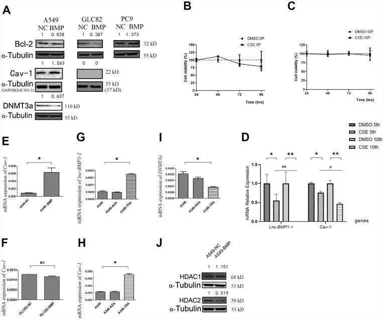 The RNA or protein expression changes of lung cancer cells with lnc-BMPl-1 over-expression vs. NC cells, the CSE vs. DMSO treated 16HBE cells, and 5-AzaC or TSA treatment. ( A ) The protein expression of <t>Bcl-2,</t> Cav-1 and DNMT3a in different lung cancer cell lines with lnc-BMP1-1 over-expression vs. NC cells; the protein expression were detected using western blotting analyses, protein expression was normalized against GAPDH or α-tubulin protein; the value above each band indicates the fold change of protein expression relative to their control; ( B ) The cell viability of CSE (vs. DMSO) treated 16HBE cells at 5 th passage; ( C ) The cell viability of CSE (vs. DMSO) treated 16HBE cells at 10 th passage; ( D ) The expression of lnc-BMP1-1 , Cav-1 were reduced in CSE treated 16HBE cells both in 5 th and 10 th passage, and made greater decline in 10 th than in 5 th passage (the same gene was compared in 5 th and 10 th generation of CSE treated 16HBE cells, #P