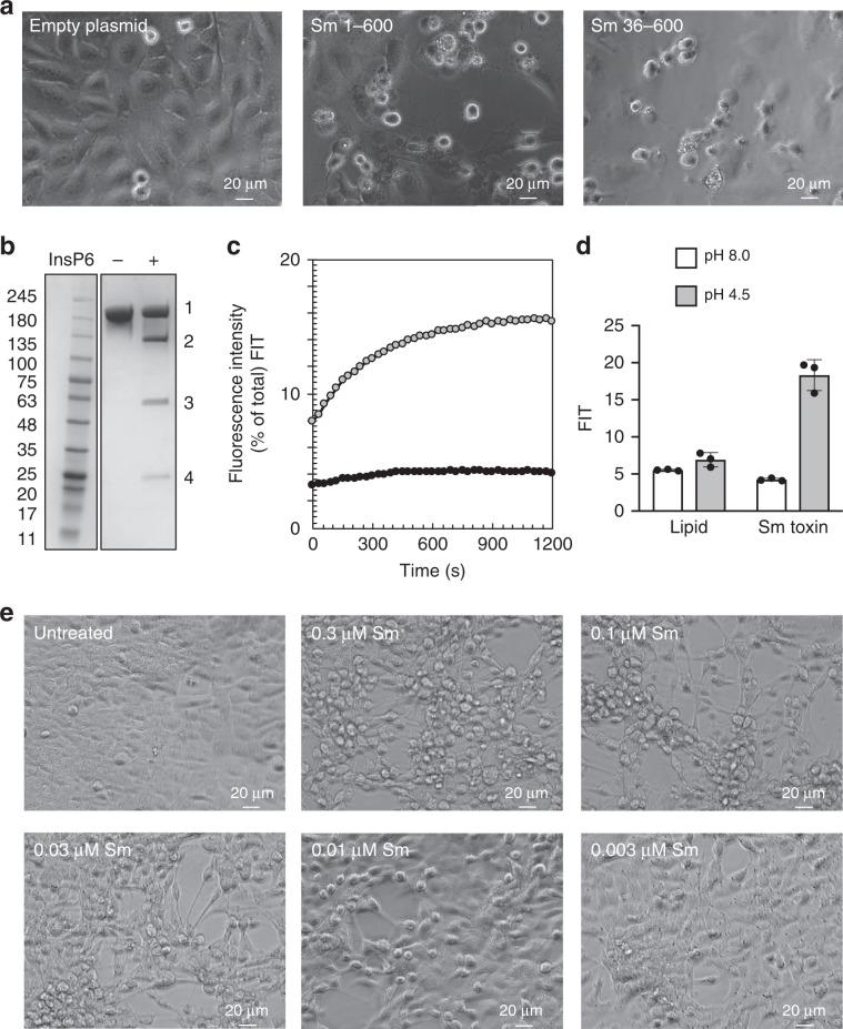 Characterization of S. marcescens (Sm) toxin. a Light microscopy images of HeLa cells transfected with PiggyBac Dual Promoter PB5131B-1 vector, expressing empty plasmid or Sm toxin effector (1–600 or 36–600) after 24 h. b Addition of Insp6 (+) to Sm toxin results in cleavage of the effector (band 3) and the CPD (band 4) from the full-length toxin (band 1). Band 2 represents full-length Sm toxin without the effector and CPD. c Dye release from HPTS/DPX loaded liposomes at pH 4.5 and pH 8.0. d Quantification of dye release from HPTS/DPX loaded liposomes after 20 minutes. N = 3 for all experiments. Source data are provided as a Source Data File for Fig. 3e. e Light microscopy images of HCT-116 cells with no toxin (untreated) or with varying concentrations of Sm toxin after 24 h.
