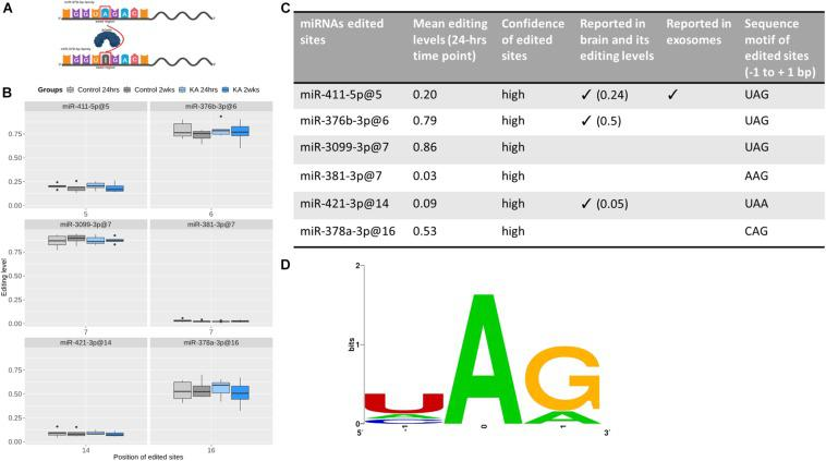RNA editing of EEF-derived miRNA. (A) Graphic illustration of A-to-I editing, which is catalyzed by ADAR enzymes. miRNA editing can occur in seed regions (as shown here) or outside of the seed regions. This graph was created with BioRender. (B) Boxplots showing the editing levels (median with interquartile range), in control and KA samples at the two different time points for six edited sites detected in EEF miRNAs. (C) The table shows evidence supporting the edited sites and (D) sequence motifs of the edited sites. This shows the nucleotide preferences of all sequences surrounding the six edited sites [three-bases long, with the edited nucleotide Adenosine (A) is centered]. All the six edited sites have preferable sequence motifs for ADAR enzymes, which is (1) over-represented uridine (U) but depleted guanosine (G) at the nucleotides before the edited sites and (2) over-represented guanosine at the nucleotides after the edited sites. Confidence of edited site ( Li et al., 2018 ) reported in brain ( Alon et al., 2012 ) and reported in exosomes ( Nigita et al., 2018 ).