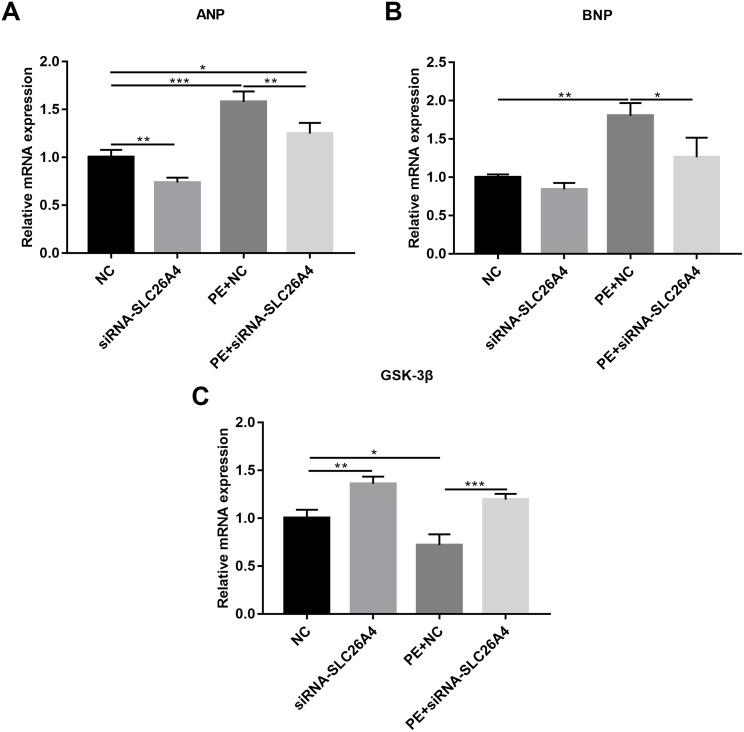 Inhibiting SLC26A4 ameliorates the expression levels of cardiomyocyte hypertrophy markers in PE-induced cardiac hypertrophy. RT-qPCR results showing the relative mRNA expression levels of (A) ANP; (B) BNP and (C) <t>GSK3β</t> in PE-induced H9C2 cells transfected by siRNA-SLC26A4. The relative expression level of ANP, BNP and GSK3β was determined using the 2 −ΔΔ Ct method. All experiments were performed at least three times. Data represent mean ± SD. * P -value