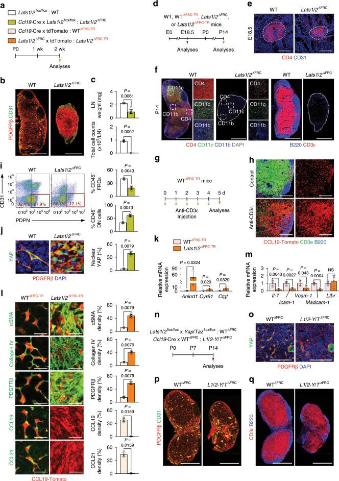 YAP/TAZ hyperactivation impairs differentiation and maturation of FRCs. a Diagram for analyses of indicated mice at P14. b Representative images of PDGFRβ + FRCs and CD31 + vessels in WT and Lats1 / 2 ∆FRC mice ( n = 5). Scale bars, 500 µm. c Comparisons of LN weight ( n = 4–7) and total number of cells ( n = 6–10) in WT and Lats1 / 2 ∆FRC mice. d Diagram for analyses of indicated mice at E18.5 or P14. e Representative images of LN anlagen (dashed line) at E18.5 showing CD4 + LTi cells in WT and Lats1 / 2 ΔFRC mice ( n = 6). Scale bars, 200 μm. f , Representative images of indicated markers (dashed box) within the inguinal LN (dotted-line) in WT and Lats1 / 2 ΔFRC mice at P14 ( n = 6). Scale bars, 500 µm. g , h Diagram and representative images for analyses of WT ΔFRC-TR mice ( n = 6) that were injected with anti-CD3ε for 5 days to induce T cell depletion. Scale bars, 100 μm. i Representative flow cytometric plots and comparison of proportion of PDPN + CD31 − FRCs (red box) and PDPN − CD31 − double-negative (DN) cells of skin-draining LNs in WT and Lats1 / 2 ∆FRC ( n = 5–6) mice. j Representative images and comparison of YAP expression and nuclear localization (green-arrowheads) in LN of WT and Lats1 / 2 ∆FRC mice ( n = 5). Scale bars, 20 µm. k Comparison of indicated mRNA expression in FRCs sorted from WT ΔFRC-TR and Lats1 / 2 iΔFRC-TR mice ( n = 4). l Representative images and comparisons of indicated marker expressions in LNs of WT and Lats1 / 2 ∆FRC mice ( n = 4–5). Scale bars, 20 µm. m Comparison of indicated mRNA expression in FRCs sorted from WT ΔFRC-TR and Lats1 / 2 iΔFRC-TR mice. n Diagram for analyses of indicated mice at P14. o Representative images of YAP expression in LNs of WT and L1 / 2-Y / T ∆FRC mice. Scale bars, 100 µm. p , q Representative images of indicated markers in LNs of WT and L1 / 2-Y / T ∆FRC mice. Scale bars, 500 µm. Unless otherwise denoted, each dot indicates a value obtained from inguinal LN and n = 4 mice. Horizontal bars indicate me