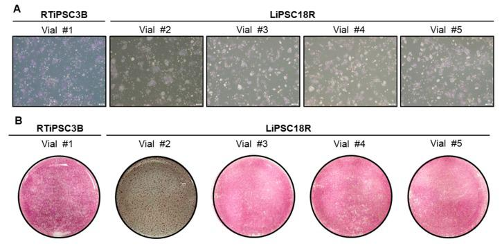 Quality of cryopreserved cells post thaw. ( A ) 6 × 10 5 cells from each vial were plated onto a well of a 6-well plate. Phase contrast images were taken 48–72 h post thaw. Magnification, 40×; ( B ) Cells were stained with AP staining kit three (vial #2) to five (all other vials) days post plating. Whole-well images are shown. Magnification, 1×.