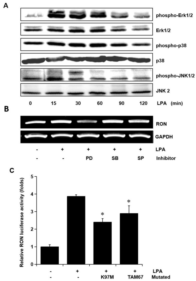 Involvement of <t>Erk-1/2</t> and JNK in LPA induced RON expression in human bladder cancer T24 cells. ( A ) T24 cells were incubated with 5 μM LPA for various periods, and the levels of phosphorylated Erk-1/2, P38 and JNK MAPK in the cell lysates were determined by Western blot analysis. ( B ) T24 cells, after being pretreated with PD98059 (PD, 50 μM), SB203580 (SB, 10 μM), and SP600125 (SP, 10 μM) for 1 h, were incubated with 5 μM LPA for 8 h. After incubation, the RON mRNA in the cell lysates was determined by RT-PCR analysis. ( C ) T24 cells transfected with Erk-1/2 (K97M) and JNK (TAM67) dominant negative mutants for 48 h were then co-transfected with a RON promoter reporter overnight. After incubation with 5 μM LPA PMA for 8 h, luciferase activity was measured with a luminometer. Bars show the mean standard deviation from three measurements. * p