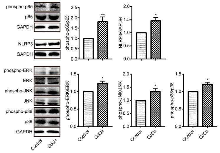 Cd activated nuclear factor-κB (NF-κB), Nod-like receptor 3 (NLRP3), and mitogen-activated protein kinases (MAPKs) in mouse liver ( n = 4). Phosphorylation of p65, ERK, JNK and p38 and the expression of NLRP3 were evaluated by Western blotting. * p