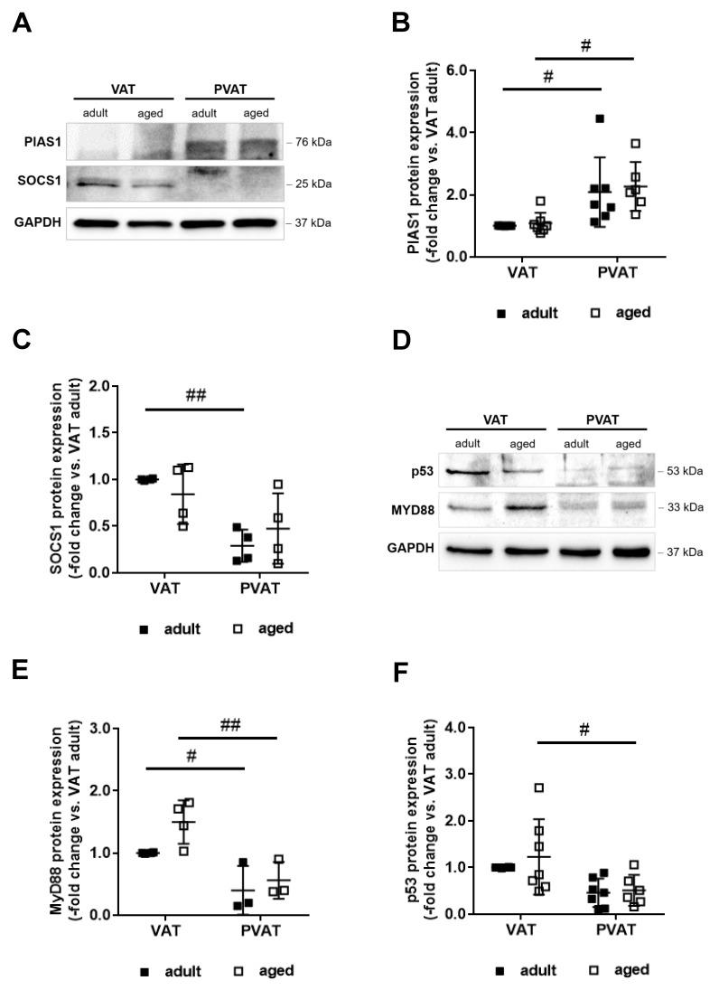 Perivascular adipose tissue expression of negative regulators of STAT1 and NFκB. ( A , B ) Western blot analysis of protein inhibitor of activated STAT-1 (PIAS1), ( A , C ) suppressor of cytokine signaling-1 (SOCS1), ( D , E ) myeloid differentiation primary response-88 (MyD88), and ( D , F ) tumor suppressor p53 (p53) in visceral (VAT) and perivascular (PVAT) adipose tissue of adult ( n = 3–8) and middle-aged ( n = 3–8) mice. Results were normalized to GAPDH protein levels and are expressed as -fold change vs. findings obtained in VAT of adult mice. Individual data points and the mean ± SD are shown. # p