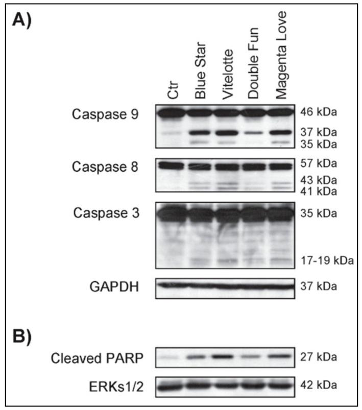 """Polyphenol and anthocyanin-rich extracts (PAE) from  S. tuberosum  varieties restored the apoptotic program in U937 cancer cells, as compared to untreated U937 control cells (Ctr). ( A ) Western blot analysis of the indicated proteins in U937 cells after PAE treatment from """"Magenta Love"""", """"Blue Star"""", """"Double Fun"""", and """"Vitelotte"""" varieties at 2.5 mg/mL for 24 h. Glyceraldehyde 3-phosphate dehydrogenase (GAPDH) detection was used as loading control. ( B ) Western blot analysis of the indicated protein in U937 cells after PAE treatment at 2.5 mg/mL for 24 h. Extracellular signal-regulated protein kinases 1 and 2 (ERKs 1/2) were used as loading control."""