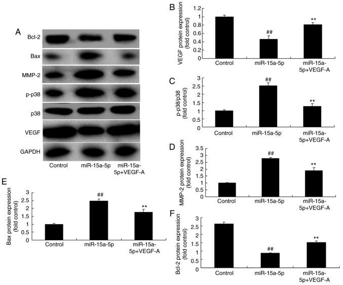 Upregulation of VEGF affected the VEGF/p38/MMP-2 signaling pathway in PASMCs from rats with monocrotaline-induced pulmonary arterial hypertension by the effects of miR-15a-5p. (A) Results of the protein expression of VEGF, p38, MMP-2, Bax and Bcl-2 measured using western blot analysis. Protein expression of (B) VEGF, (C) p-p38, (D) MMP-2, (E) Bax and (F) Bcl-2. ## P