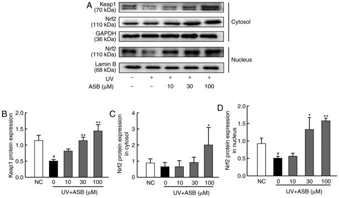 ASB activates the Nrf2 signaling pathway in UV-induced HaCaT cells. The cells were preincubated with ASB (10, 30 and 100 µ M) and irradiated with UV (90 mJ/cm 2 ). (A) Nuclear and cytoplasmic proteins were extracted; Nrf2 and keap1 proteins were measured by western blotting. Relative changes in protein intensity were quantified for (B) keap1, (C) cytosolic Nrf2 and (D) nuclear Nrf2 by densitometric analysis, and are presented as bar diagrams (n=3 for each group). # P