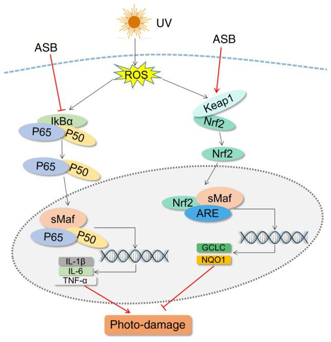 Schematic diagram of the mechanism of action of ASB in UV-induced photo-damage in HaCaT cells. UV, ultraviolet; ASB, androgra-pholide sodium bisulfite; ROS, reactive oxygen species; keap1, kelch-like ECH-associated protein 1; Nrf2, nuclear factor E2-related factor 2; IL, interleukin; TNF-α, tumor necrosis factor-α; GCLC, glutamate-cysteine ligase catalytic subunit; NQO1, NAD(P)H quinone oxidoreductase 1; IκBα, NF-κB inhibitor-α; ARE, antioxidant response element.