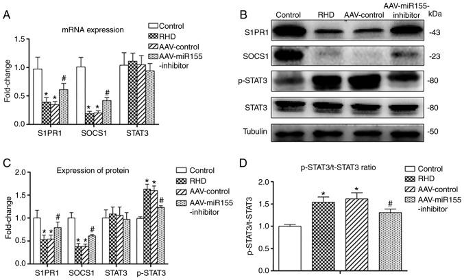 Reverse transcription-quantitative PCR and western blot analysis. (A) The relative mRNA expression of S1PR1, SOCS1 and <t>STAT3</t> in the four groups. (B) Western blot analysis of S1PR1, SOCS1, STAT3 and p-STAT3 in the four groups. (C) The relative protein expression of S1PR1, SOCS1, STAT3 and p-STAT3 in the four groups. (D) The ratio of phosphorylated vs. total protein for STAT3. This figure shows that expression of S1PR1 and SOCS1 was increased and expression of p-STAT3 was decreased after AAV-injection. Data are shown as the mean ± standard deviation; * P