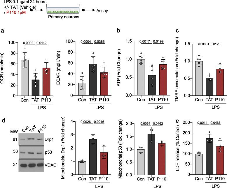Inhibition of Drp1-Fis1-mediated mitochondrial dysfunction is protective against LPS-mediated neuronal injury in culture. a Oxidative phosphorylation and glycolytic rate was measured with Seahorse Extracellular Flux in primary neurons were treated with 0.1 mg/ml LPS in the presence/absence of P110 (1 mM) for 24 h ( n = 6). b Cellular <t>ATP</t> level was measured using <t>CellTiter-Glo®</t> after treatment as in a and represented as fold change of control. c Mitochondrial membrane potential was measured using TMRE after treatment as in a and represented as fold change of control ( n = 6). d Drp1 levels and p53 levels were quantified by immunoblotting in enriched mitochondrial fractions and represented as fold change of control. VDAC was used as a loading control ( n = 3). e LDH release was measured after treatment as in a and represented as % of Control (Con) ( n = 6). Probability determined by one-way ANOVA and Holm-Sidak's test for multiple comparisons between each treatment group, as above. All data are shown as the mean ± s.d., and p values are indicated