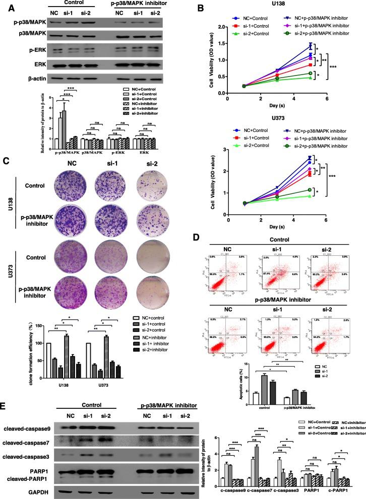 Inhibition of phosphorylation of p38/MAPK reverses cell survival induced by circ-MAPK4. ( a ) U373 cells transfected with siRNA negative control, circ-MAPK4 siRNA-1 and siRNA-2 were treated with or without p-p38/MAPK inhibitor (SB203580). Inhibition efficiency of p-p38/MAPK inhibitor was accessed by testing phosphorylation and total protein levels of p38/MAPK and ERK using western blot assays. ( b , c ) CCK-8 and colony formation assays were performed to reveal cell survival of these U373 cells. ( d ) Apoptosis assays were performed to reveal apoptosis levels of these U373 cells. ( e ) The western blot assays were used to evaluate effect of p-p38/MAPK inhibitor on protein expression levels of cleaved form of caspase-9, caspase-7, caspase-3, PARP1 in these U373 cells. The data were summarized as bar graph. Data are the means ± SEM of three experiments. * P