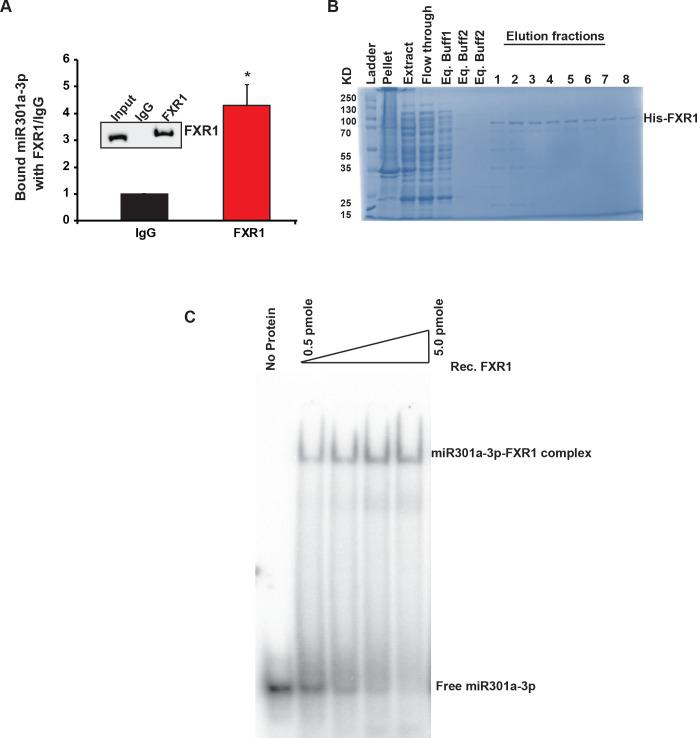 FXR1 binds to miR301a-3p in vivo and in vitro. ( A ) RNA-immunoprecipitation shows miRNA301a-3p binds to FXR1 in UMSCC74B cells compared to control mouse IgG. Both ACTIN and RPS18 served as endogenous controls. FXR1 antibody pull-down efficiency by immunoprecipitation is shown in the inset. ( B ) SDS-PAGE showing rec. FXR1 purification from the Ni-NTA column. ( C ) EMSA with 5'-labeled miR301a-3p and rec. FXR1 protein. 0.5 pmole of [y- 32 P] ATP labeled miRNA was mock-treated or mixed with increasing concentration of recombinant FXR1 protein and incubated at 37°C for 30 min. Free RNA and miRNP complexes are shown in the figure.