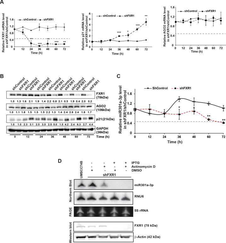 The stability of miR301a-3p is FXR1 dependent. ( A ) qRT-PCR assay of FXR1 knockdown UMSCC74B cells showing significant down- and up-regulation of FXR1 and p21 , respectively, compared to control. AGO2 did not show any change after the FXR1 knockdown. Both ACTIN and RPS18 served as endogenous controls. ( B ) Western blot analyses of FXR1, p21, and AGO2 from UMSCC74B cells collected at different time points as mentioned after shFXR1 transduction. GAPDH serves as a loading control. ( C ) qRT-PCR assay of FXR1 knockdown UMSCC74B cells showing significant miR301a-3p decay from 48hrs compared to control. Cells were collected at the designated time points after shRNA transduction. RNU6 serves as an endogenous control. ( D ) UMSCC74B cells stably expressing IPTG inducible shControl and shFXR1 were treated with 1mM IPTG for 72 hrs, followed by actinomycin D (ActD) or DMSO treatment for 8 hrs. Total RNA was prepared from all samples for northern hybridization. RNU6 serves as an endogenous control whereas total sample loading was shown by the 5s rRNA level from the PAGE. The same samples were used for western blot to show the knockdown of FXR1. Statistical significance ( p -value): *