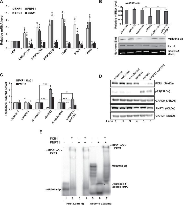 PNPT1 is overexpressed in HNSCC that degrades miR301a-3p in the absence of FXR1. ( A ) qRT-PCR analysis of FXR1 , XRN1 , XRN2 , and PNPT1 in HNSCC cell lines compared to primary line HOK along with lung cancer cell line A549. Both ACTIN and RPS18 served as endogenous controls. ( B ) (up) qRT-PCR analyses to test the expression of miR301a-3p in UMSCC74B cells under individual and double knockdown of FXR1 and PNPT1. RNU6 served as an endogenous control. (down) Northern hybridization of total RNA isolated from UMSCC74B cells under individual and double knockdown of FXR1 and PNPT1 shows the levels of miR301a-3p. RNU6 is used as an endogenous control. 5S rRNA is used as a loading control. ( C ) qRT-PCR analysis of FXR1 , p21 , and PNPT1 in UMSCC74B cells under individual and double knockdown of FXR1 and PNPT1. Both ACTIN and RPS18 served as endogenous controls. ( D ) Western blot analysis of FXR1, p21, and PNPT1 in UMSCC74B under individual and double knockdown of FXR1 and PNPT1. GAPDH serves as an endogenous control. ( E ) EMSA with 5'-labeled miR301a-3p with rec. FXR1 and rec. PNPT1 proteins. L1: RNA only, L2: RNA + FXR1, L3: RNA + PNPT1, L4: RNA + FXR1 (5 pmole) for 15 min, followed by PNPT1 (5 pmole) for another 15 min. L5-7: samples are loaded 2 hours after the first loading of from L1,3, and 4 to visualize the bottom of the gel. Statistical significance ( p -value): *
