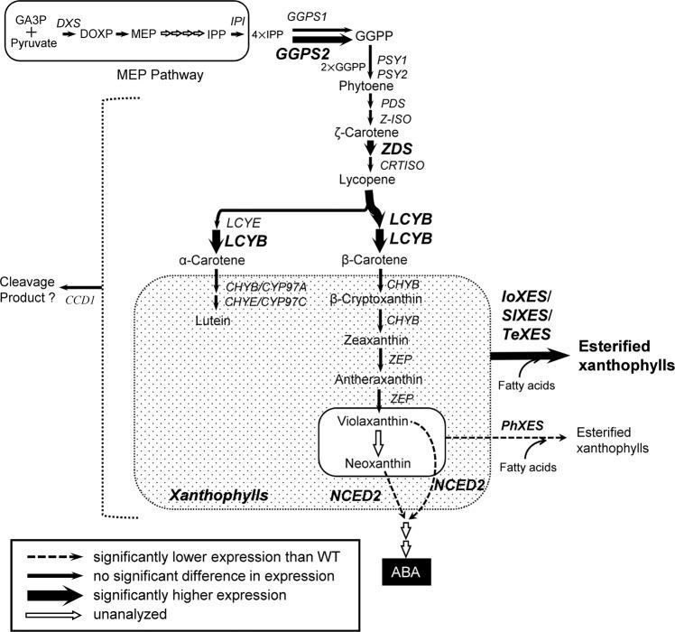 Typical putative carotenoid biosynthetic pathway in corollas of IoXES -OX, SlXES -OX, and TeXES -OX plants. GA3P, glyceraldehyde 3-phosphate; DXS, 1-deoxy- d -xylulose 5-phosphate synthase; DOXP, 1-deoxy- d -xylulose 5-phosphate; MEP, 2-C-methyl- d -erythritol-2,4-cyclodisphosphate; IPP, isopentenyl diphosphate; IPI, IPP isomerase; GGPP, geranylgeranyl diphosphate; GGPS, GGPP synthase; PSY, phytoene synthase; PDS, phytoene desaturase; Z-ISO, 15- cis -ζ-carotene isomerase; ZDS, ζ-carotene desaturase; CRTISO, carotenoid isomerase; LCYB, lycopene β-ring cyclase; LCYE, lycopene ε-ring cyclase; CHYB, β-ring hydroxylase; CHYE, ε-ring hydroxylase; CHYB/CYP97A, cytochrome P450-type β-ring hydroxylase; CHYE/CYP97C, cytochrome P450-type ε-ring hydroxylase; ZEP, zeaxanthin epoxidase; NCED2, 9- cis -epoxy carotenoid dioxygenase 2; ABA, abscisic acid; CCD1, carotenoid cleavage dioxygenase 1; PhXES, Petunia hybrida xanthophyll esterase; IoXES, Ipomoea obscura XES; SlXES, Solanum lycopersicum XES; TeXES, Tagetes erecta XES. Expression of genes in bold was enhanced when XES genes were exogenously introduced.