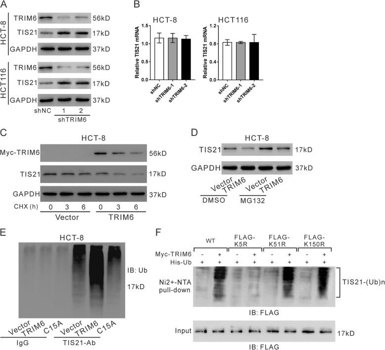 TRIM6 promoted TIS21 ubiquitination. a , b , Western blotting ( a ) and qRT-PCR ( b ) were used to detect TIS21 in HCT-8 and HCT116 cells infected with lentivirus expressing TRIM6 shRNA (shTRIM6–1, − 2) or control shRNA (shNC). c , HCT-8 cells were transfected with pcDNA3.1-myc-TIRM6 or pcDNA3.1-myc (Vector) for 24 h, and exposed to 20 mM cycloheximide (CHX, Sigma-Aldrich). Cell lysate was prepared at 0, 3 and 6 h after exposure and subjected to western blotting analysis. d , HCT-8 cells were transfected with pCMV-Tag2-TIRM6 or pCMV-Tag2 vector for 24 h and then treated with MG132 (10 μM) or DMSO for 20 h. Western blotting was used to detect TIS21. e , Cell lysates from HCT-8 cells infected with lentivirus expressing TRIM6 shRNA (shTRIM6–1) or control shRNA (shNC) were IP with TIS21-Ab/control IgG and then immunoblotted for ubiquitin (Ub). f , Ubiquitination assay. The 293 T cells were transfected with plasmids expressing myc-TRIM6, His-ubiquitin and FLAG-TIS21 (WT, K5R, K51R or K150R). Cell lysates were incubated with nickelnitrilotriacetic acid beads and subjected to western blotting with anti-FLAG