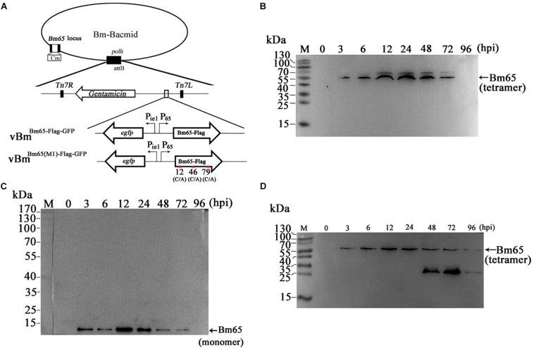 Western blotting analysis of Bm65-flag and Bm65(M1)-flag using antibodies against flag (Code#HT201 TransGen Biotech). (A) Strategy for expression of recombinant protein Bm65-flag and Bm65(M1)-flag. (B) Western blotting analysis of Bm65-flag expressed in BmNPV-infected BmN cells. (C) Western blotting analysis of Bm65-flag expressed in virus-infected BmN cells treated with β-mercaptoethanol. (D) Western blotting analysis of Bm65(M1)-flag expressed in virus-infected BmN cells. The prestained protein standards are on the left. The virus of vBm Bm65(M1)–Flag–GFP used is one in which all three cysteines were changed to alanine.
