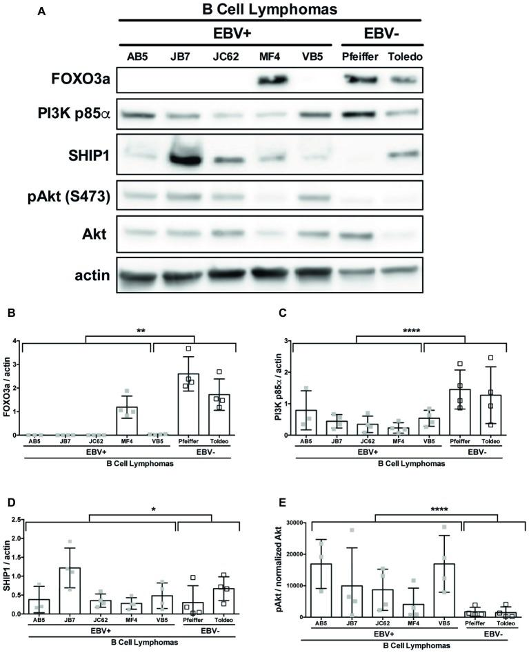 miR-155 targets FOXO3a and PI3K p85α are downregulated in EBV+ B cell lymphomas. Lysates from EBV+ and EBV− B cell lymphomas were generated with RIPA buffer supplemented with 1× Halt Protease and Phosphatase Inhibitors and 1 mM sodium orthovanadate and quantified using the Pierce 660 nm Protein Assay. About 30 μg of protein was loaded on a 4–20% tris-glycine gel and subsequently transferred to a nitrocellulose membrane. Western blots for the indicated proteins were performed as per manufacturer's instructions and imaged via the Azure c300 digital imager. Representative blots are shown in (A) . Densitometry was performed using ImageJ, and all values were background subtracted and normalized to the indicated loading control (B–E) . Each point represents an experimental replicate. * p ≤ 0.05, ** p ≤ 0.01, **** p ≤ 0.0001 by linear mixed effects model.