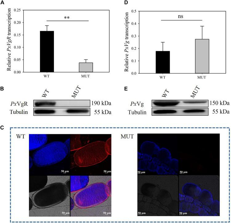The effects of VgR knockout on the expression of Px VgR and Px Vg in P. xylostella . (A,D) The transcription level of PxVgR and PxVg genes were analyzed by <t>qRT-PCR,</t> however, (B,E) the expression patterns of Px VgR and Px Vg proteins were analyzed by Western blot. (C) The ovaries dissected from newly emerged MUT and WT females were successively treated with the Px VgR polyclonal antibody and Alex Fluor Plus 594-conjugated-secondary antibody (goat anti-rabbit) (red), and stained with DAPI Fluoromout-G TM for <t>DNA</t> (blue); bar = 50 um. The results were shown as mean ± SE. The asterisk ∗∗ above the bars represented significant difference ( P