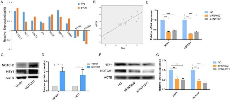 The NOTCH1-HEY1 pathway is a positive feedback loop in SACC cells. (A) The expression of NOTCH1, HEY1, TNNT3, IFI6, RELB, KRT-17, MMP7, TPD52 and ABHD3 genes, which were selected from the RNA-Seq results, was measured by qRT-PCR. (B) Linear regression analysis was used to compare the expression levels of the abovementioned genes between the RNA-Seq and qRT-PCR results. (C, D) Western blot analysis and the quantification of NOTCH1 and HEY1 expression in SACC cells after NOTCH1 upregulation by pcDNA3.1-NICD1 plasmid transfection. (E) The mRNA expression of NOTCH1 and HEY1 after HEY1 downregulation by siRNAs was detected by RT-PCR. (F, G) The protein expression of NOTCH1 and HEY1 when HEY1 inhibition was measured by western blot analysis. *P