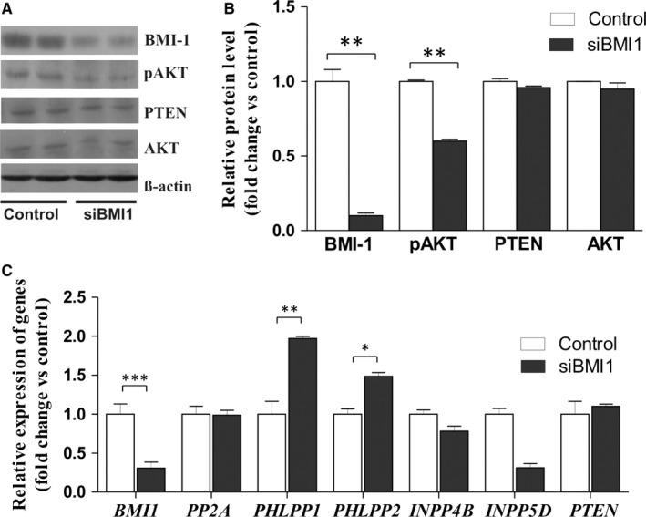 Effect of BMI‐1 down‐regulation on AKT phosphorylation level and expression of phosphatases in HEC1A cells. A, Representative immunoblots showing BMI‐1, PTEN, AKT proteins and phosphorylated AKT in HEC1A cells treated for 48 h with 30 nmol/L BMI‐1 siRNA or scrambled siRNA (control). B, Bar graph shows the densitometric analysis of BMI‐1, PTEN, AKT and phosphorylated AKT (pAKT) levels in cells treated with BMI‐1 siRNA and scrambled siRNA and represents the mean ± SD of three independent experiments. C, Relative changes in BMI1, PP2A, PHLPP1, PHLPP2, INPP4B, INPP5D and PTEN mRNAs expression levels in siRNA treated cells compared to untreated cells; bar graph represents the mean ± SD. * P