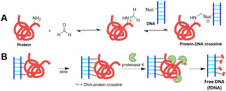 Schematic of formalin-induced crosslink formation and the removal of crosslinked proteins by treatment with proteinase K. (A)  A protein amine can nucleophilically attack the formaldehyde carbonyl to yield an iminium ion, which can then react with another primary amine from DNA, RNA, or proteins to form a crosslink. This crosslink reaction is in reversible dynamic equilibrium [  10 ,   21 ].  (B)  Treatment with a protease, proteinase K, allows free DNA (fDNA) recovery. Here, Nuc designates an amine nucleophile from the DNA.