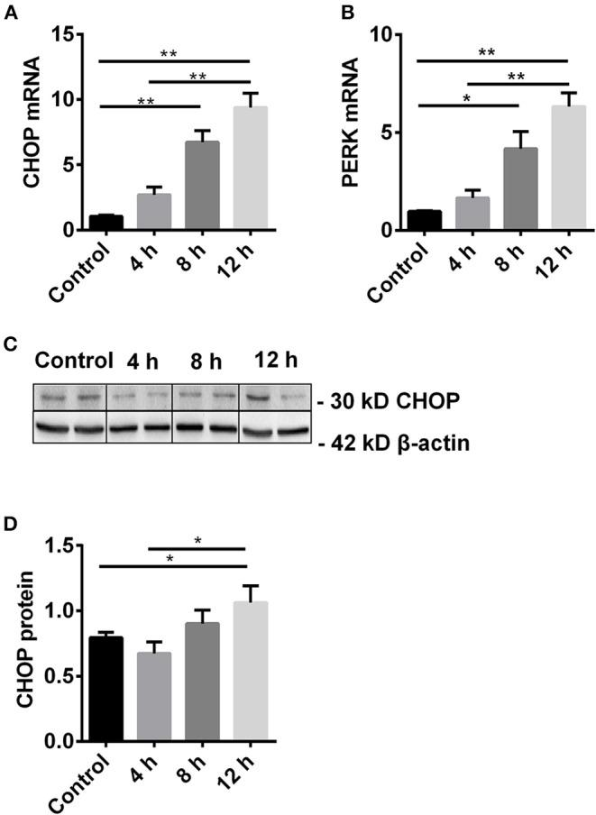The dynamic change of CHOP and its regulator PERK. (A,B) The mRNA level of CHOP and PERK was gradually increased and reached the significance at 8 h and peaked at 12 h. (C,D) The expression of CHOP protein was significantly increased at 12 h. Data are expressed as mean ± SEM ( n = 3). The volume density of western blots was corrected by against 42 kD β-actin as a loading control. * P