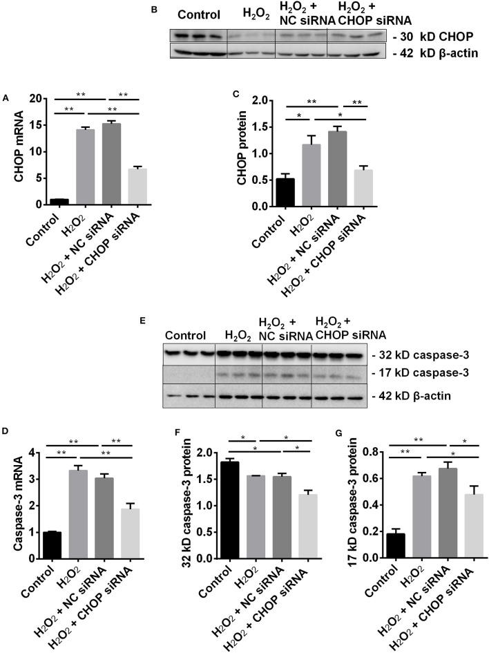 CHOP siRNA downregulated its mRNA, protein and caspase-3 in TCMK-1 cells. (A) The expression of CHOP mRNA in the TCMK-1 cells transfected with CHOP siRNA was reduced by 53% and 56% compared to the cells treated by the H 2 O 2 and the NC siRNA. (B,C,E,G) The expression of CHOP protein as well as caspase-3 mRNA (D) and 17 kD caspase-3 protein was increased at the H 2 O 2 and the NC siRNA group but reversed by CHOP siRNA. (E,F) The expression of 32 kD caspase 3 protein was decreased by H 2 O 2 or NC siRNA and further decreased by CHOP siRNA. Data are expressed as mean ± SEM ( n = 3). The volume density of western blots was corrected by against 42 kD β-actin as a loading control. * P