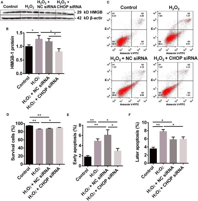 The renoprotection of CHBP associated with ERS improvement, apoptosis and inflammation. (A,B) HMGB-1 protein was significantly up-regulated by H 2 O 2 , but was down-regulated by CHOP siRNA compared to the H 2 O 2 and NC siRNA groups. (C,D) The percentage of living cells was decreased by H 2 O 2 and H 2 O 2 + NC siRNA but reversed by H 2 O 2 + CHOP siRNA. (E,F) The both early and later apoptotic cells were increased by H 2 O 2 and H 2 O 2 + NC siRNA, but only the early apoptotic cells were reduced by H 2 O 2 + CHOP siRNA. Data are expressed as mean ± SEM ( n = 3). The volume density of western blots was corrected by against 42 kD β-actin as a loading control. * P
