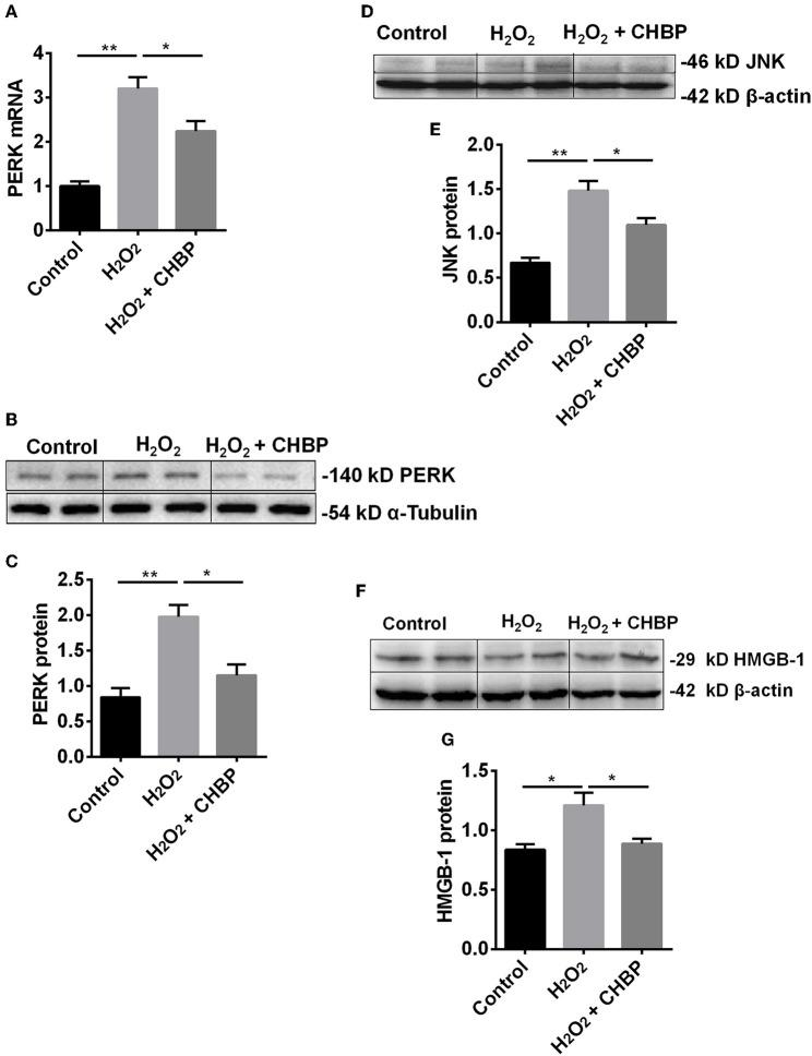 The expression of PERK, JNK and HMGB-1 protein and/or mRNA. The mRNA (A) and protein (B,C) of PERK, as well as JNK protein (D,E) and HMGB-1 protein (F,G) , were significantly increased by H 2 O 2 in the TCMK-1 cells. However, these effects were reversed by CHBP. Data are expressed as mean ± SEM ( n = 3). The volume density of western blots was corrected by against 42 kD β-actin or 54 kD α-Tubulin as a loading control. * P