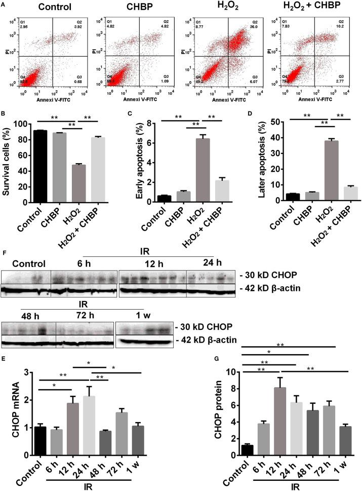 Cell apoptosis analyzed by flow cytometry and CHOP protein detected by western blot. ( A,B : Annexin V-FITC-/PI-) The percentage of living cells was decreased by H 2 O 2 , but reversed by CHBP. ( A,C : Annexin V +/PI-; A,D : Annexin V +/PI+) The early apoptotic cells, as well as later apoptotic cells were increased, respectively, by H 2 O 2 , but reduced by CHBP. (E–G) The dynamic expression of CHOP at mRNA and protein level. (E,F) CHOP protein was significantly raised and picked at 12 h. (G) CHOP mRNA was also significantly increased at 12 h and peaked at 24 h after IR injury. Both CHOP protein and mRNA were decreased at 1 week. Data are expressed as mean ± SEM ( n = 3). The volume density of western blots was corrected by against 42 kD β-actin as a loading control. * P