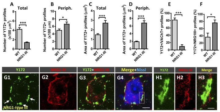 Changes in Y172 immunoreactivity in MNs from mutant mice (P60) overexpressing NRG1 type III. (A–F) The density (per 100 μm 2 MN soma, A,B ) and size (in μm 2 , C,D ) of total (A,C) and peripheral (periph., B,D ) Y172-positive profiles and the percentage of these profiles showing a spatial association with VAChT-positive C-boutons (E) and NRG1 type III-positive spots (F) in MNs from WT and NRG1 type III-overexpressing mice. Note that NRG1 type III overexpression was associated with a prominent decrease in the density of total Y172-positive profiles (A) and a significant increase in the number of those located peripherally (B) in MNs; the area of both total and peripheral Y172-positive profiles was dramatically increased in MNs from NRG1 type III-overexpressing animals (C,D) . Additionally, the percentage of Y172-positive profiles showing a close association with VAChT- (E) or NRG1 type III-positive (F) spots significantly increased or decreased, respectively, in MNs from NRG1 type III-overexpressing animals; 10–15 randomly selected MNs from 3 to 4 mice per condition were analyzed; * p